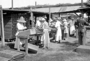 Women packing peaches under the hot summer sun - notice the high heels!