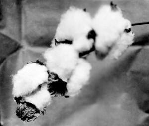 CottonBolls