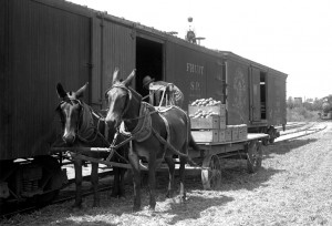 Mule team delivering dried peaches for rail shipping near Sanger - 1915