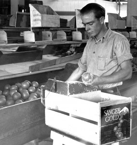 A worker intently makes one final quality check prior to boxing Sanger Gold brand oranges - December 15, 1925. Pop Laval Collection